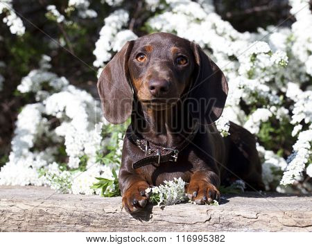 dachshund and spring flowers