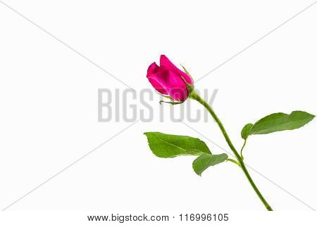 Close-up Pink Rose On White Background.