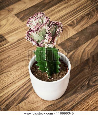 Euphorbia Lactea Cristata In Flower Pot, Detail Photo
