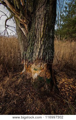 Large Tree Gnawed By Beavers