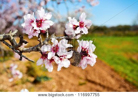 closeup of the branch of an almond tree in full bloom in a natural landscape