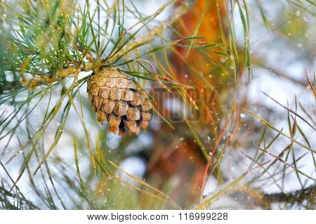 Pine Branch With Pinecone Winter