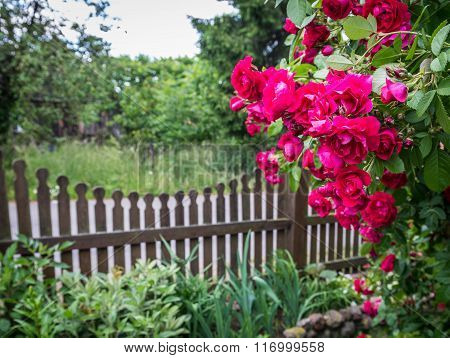 Rose garden on countryside in Mazovia region Poland