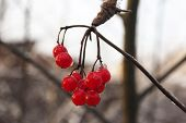 Постер, плакат: Red berry viburnum frozen berries on a branch