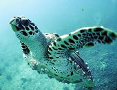 stock photo of sea-turtles  - a sea turtle swimming in the ocean - JPG