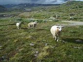 Three Little Lost Sheeps