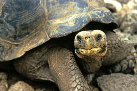 pic of the hare tortoise  - this image was shot in the galapagos islands of ecuador and shows a giant tortoise - JPG