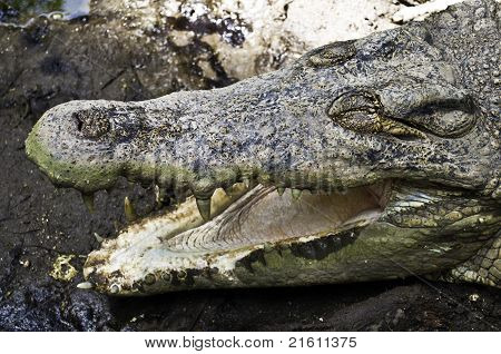 Open Jaws Crocodile