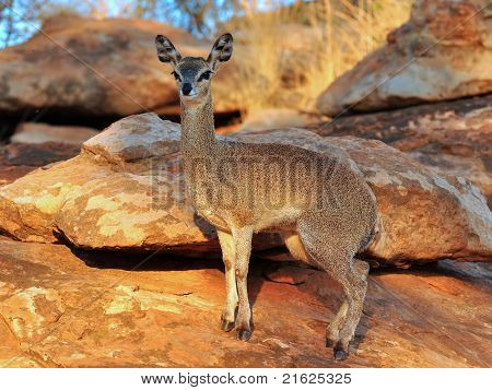 lipspringer in Mapungubwe NP in South Africa