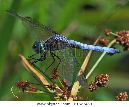 Swift Long-Winged Skimmer