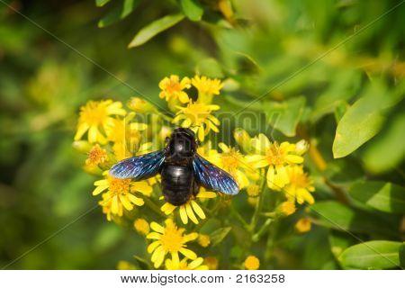 European Carpenter Bee