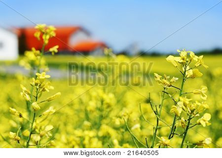 Canola Field And Orange Roof Farm