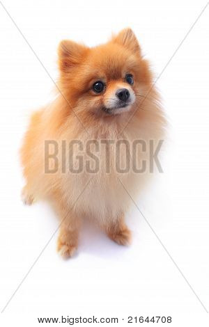 pomeranain dog