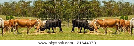Australian Beef Cattle Cow Border