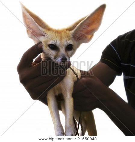 A raposa do deserto