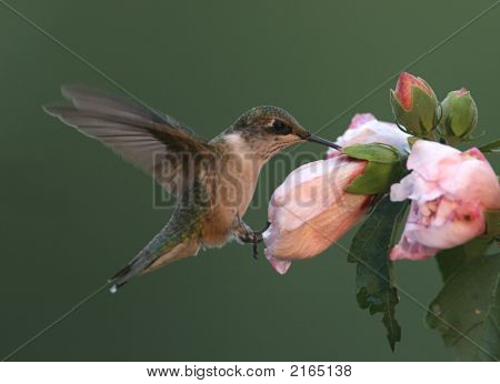 Hummingbird On A Flower