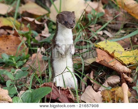 Least weasel in the leaves