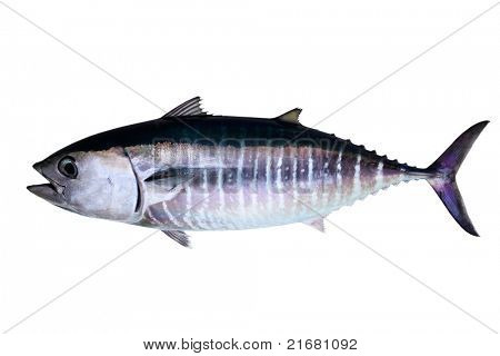 Thun isoliert auf weißem Hintergrund echte Fische Thunnus thynnus