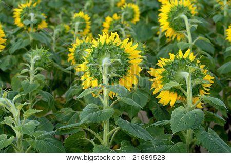 Sonnenblume Rückseite