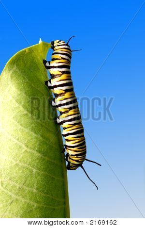 Eating Caterpillar
