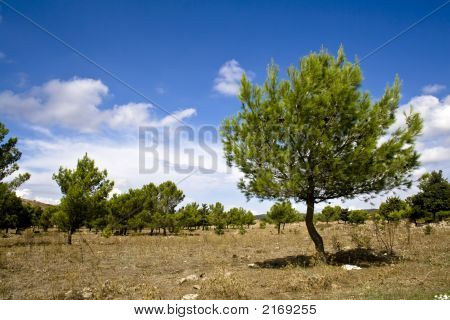 Sicilian Landscape, The Pines