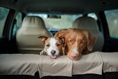 Dogs Nova Scotia Duck Tolling Retriever And Jack Russell Terrier In The Car poster