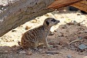 image of mear  - a meerkat under a log in the shade - JPG