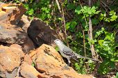 stock photo of mockingbird  - Northern Mockingbird foraging for seeds and insects - JPG