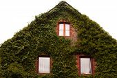 Common ivy covers gable wall