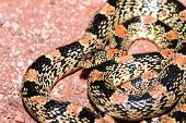 image of harmless snakes  - This pretty longnose snake was found crossing a sandy path in southern Arizona - JPG