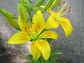stock photo of asiatic lily  - A yellow Asiatic lily plant in partial bloom - JPG