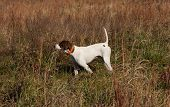 foto of bird-dog  - English Pointer pointing a covey of quail - JPG