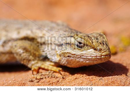 Fence Lizard Head