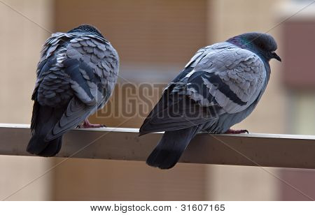 A Pair of Pigeons