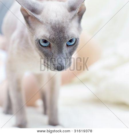 Haarlose Katze