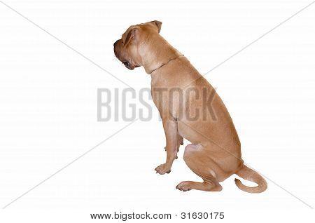 Sharpei Dog.