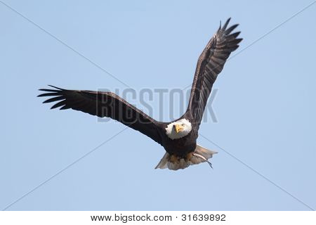 Adulto Bald Eagle (haliaeetus Leucocephalus)