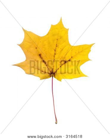 Full-Size Photo Of Maple Autumn Leave Isolated On White Background