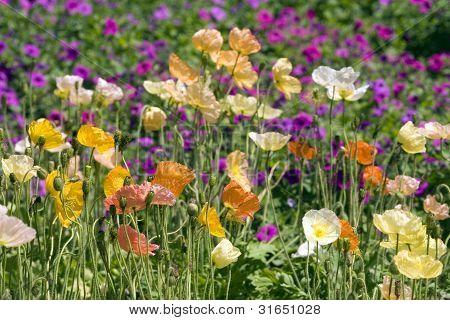 Iceland Poppy flowers