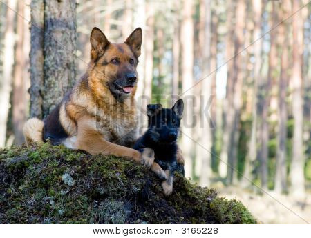Germany Sheep-Dog With Puppy