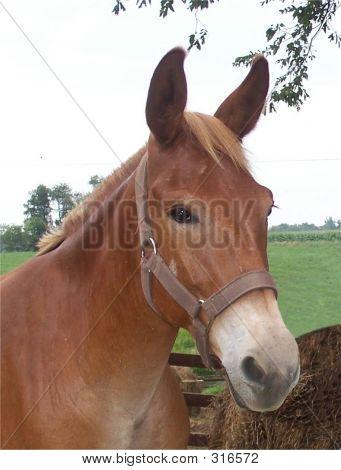 Portrait Of A Mule