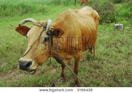 Cow Chew The Cud