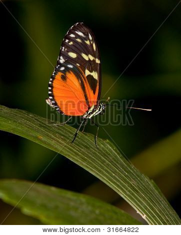 Yellow Tiger Longwing Butterfly