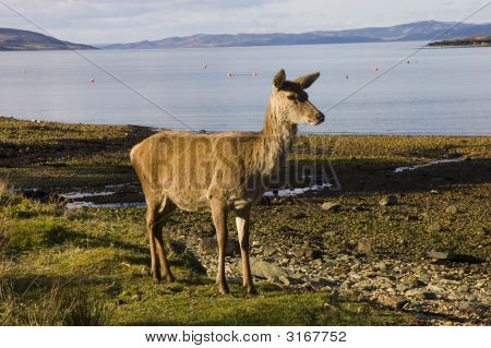 Red Deer Hind On The Shore Of Lochranza