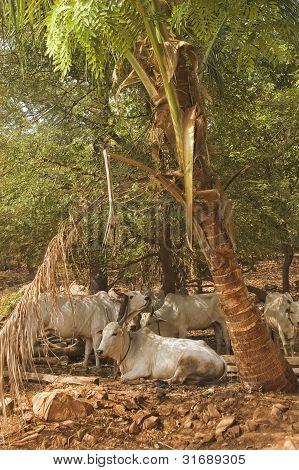 Zebu Bulls Under A Palm Tree