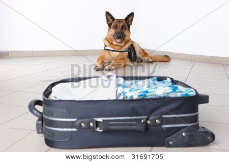 Airport canine. Dogs like that sniffs out drugs or bomb in a luggage.