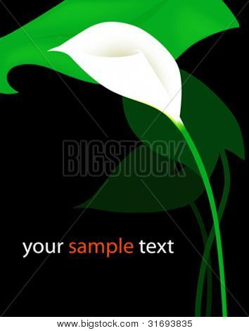 Beautiful white calla lily. Vector illustration.
