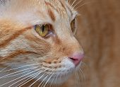 Closeup Face Of Orange Tabby Cat Isolated On Background poster