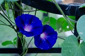Blue Morning Glories On Black Trellis With Dewy Flowers.  Blue Purple Morning Glory Flower With Dew  poster