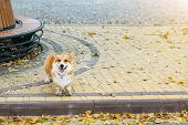 Cute Corgi Pembroke Puppy Alone In Autumn City Park. Abandoned Or Lost Dog Standing At Street During poster
